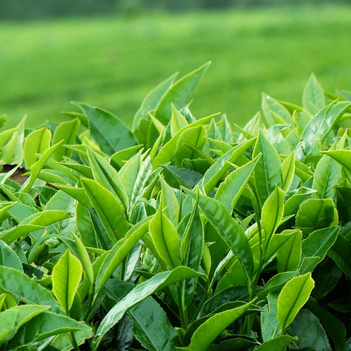 Çay Üreticisine Serbestlik Sevindirdi