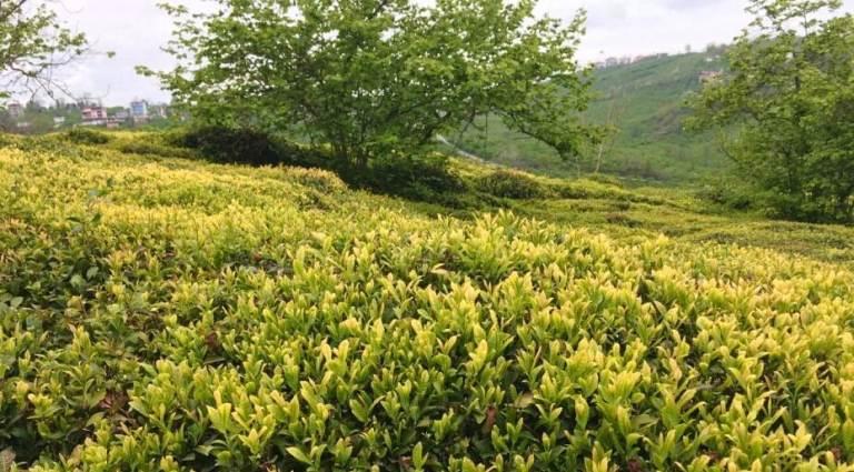 Trabzon Valiliğinden çay açıklaması