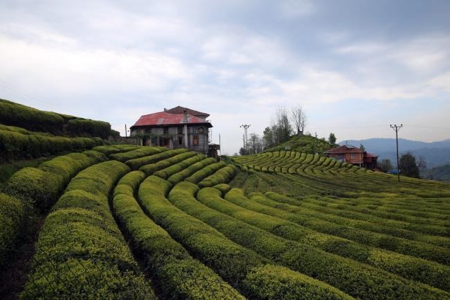 Çay Hasadı İçin Bakanlık Devrede