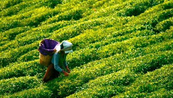 Çay Üreticilerine Kovid-19 Testi Başladı
