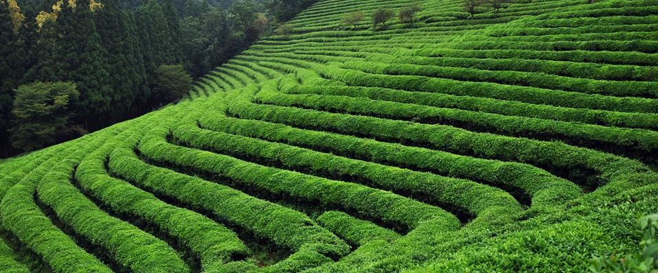 Karadeniz'de 2021 yılı Yaş çay sezonu açıldı